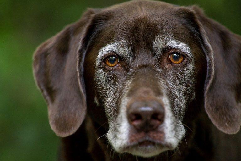 labrador retriever, dog, head
